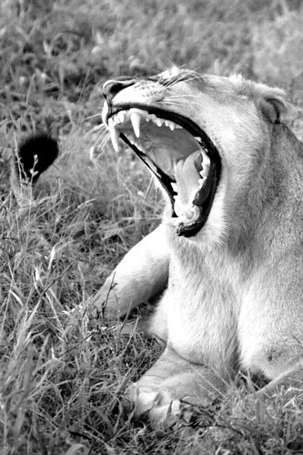 LionessREOWCloseBW