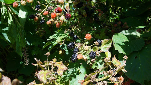 Blackberries: An original superfood