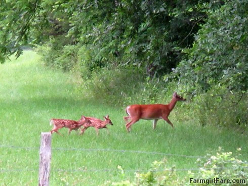 (32-12) The twins can already leap right over the hayfield fence into the woods - FarmgirlFare.com