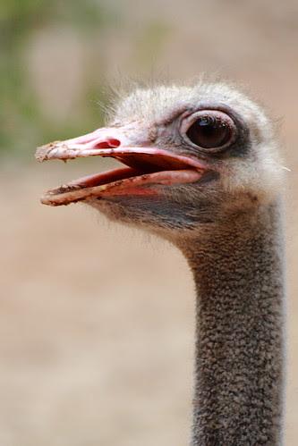 ostrich with big round eyes