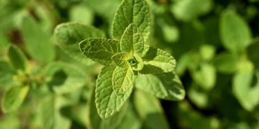 Resultado de imagem para salvia planta amiga