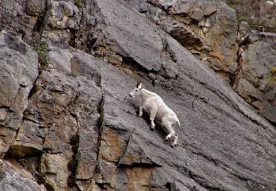 Οι καλύτεροι ορειβάτες του κόσμου ή αλλιώς ...κατσίκες!