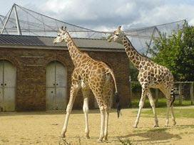 giraffes at London Zoo