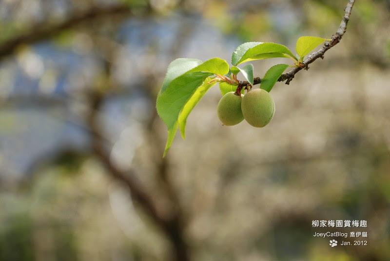 2012_0115_柳家梅園賞梅趣_8DSC_3877