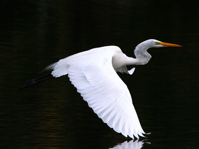 Great Egret Flying 20091129