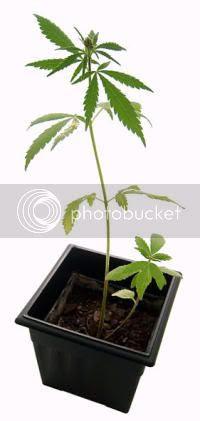Planta de marihuana (Cannabis sativa)