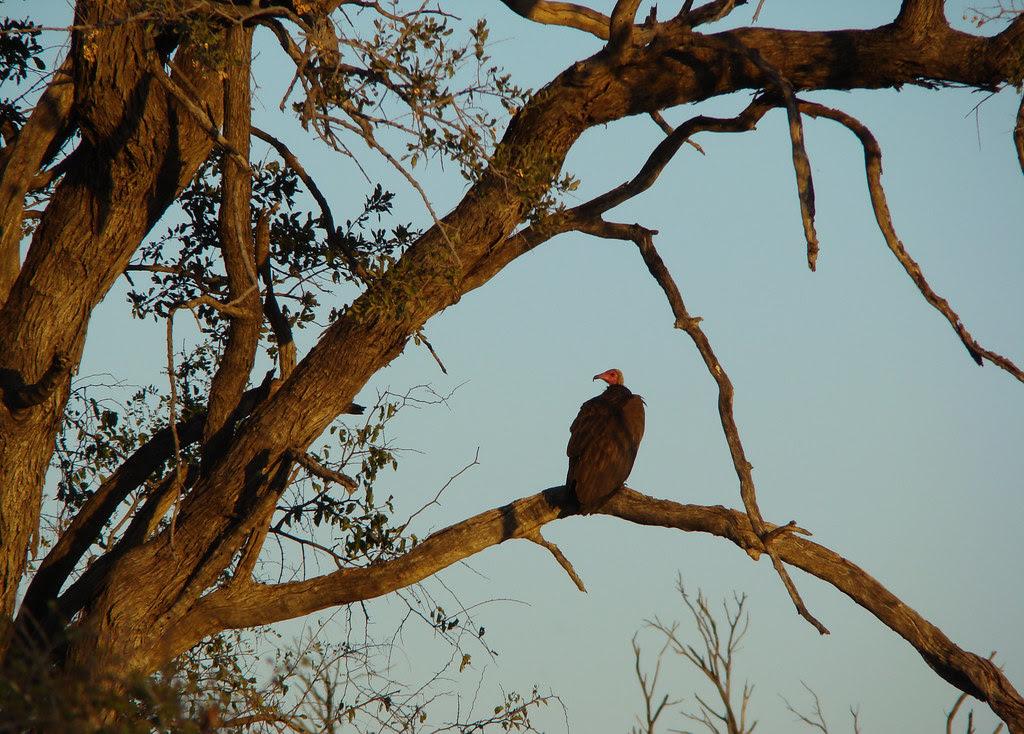 DSC08463 Hooded Vulture