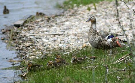 mumma ducky