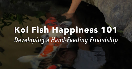 Koi Fish Happiness 101: Developing a Hand-Feeding Friendship - Nualgi Ponds
