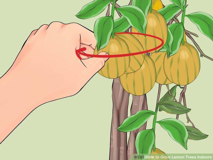 Grow Lemon Trees Indoors Step 25 Version 2.jpg