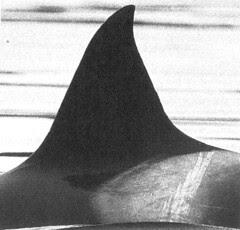 A25 Sharky