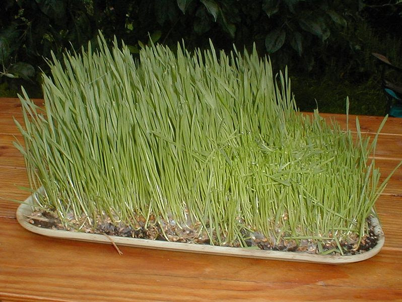 File:WheatGrass.jpg