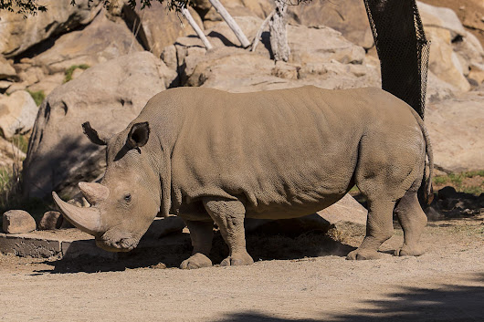 Only Five Northern White Rhinos Remain After One Dies at San Diego Zoo