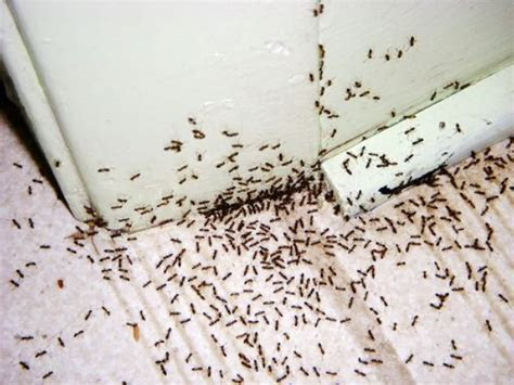 Ant Infestation Dublin   Ants Removal Treatment