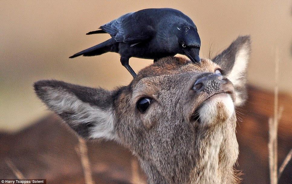 The extraordinary spectacle of a crow picking parasites off a deer was caught on camera in Richmond Park, south-west London