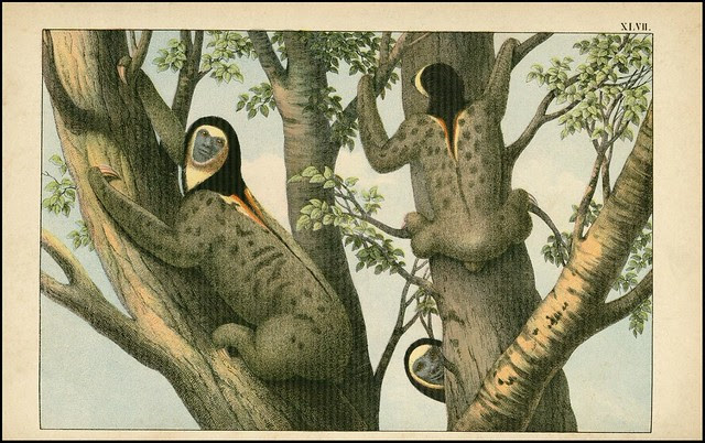 zoological chromolithograph - Le paresseux