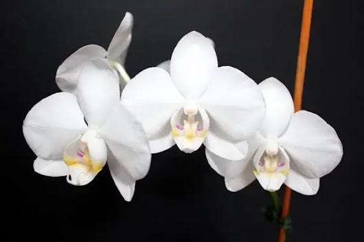 orchideen pflegetipps bilder und infos google