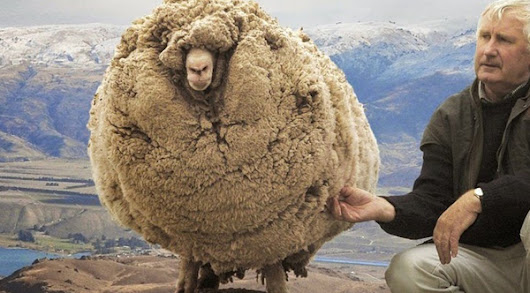 Meet Shrek - The Renegade Sheep That Avoided Shearing For Six Years By Hiding In A Cave