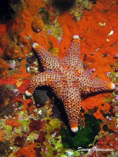 Firebrick Star