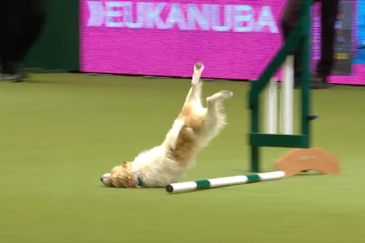 Hilarious moment 'crazy' Jack Russell fails at Crufts assault course