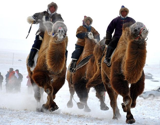 Snow joke: Mongolian tribesmen take part in a camel race