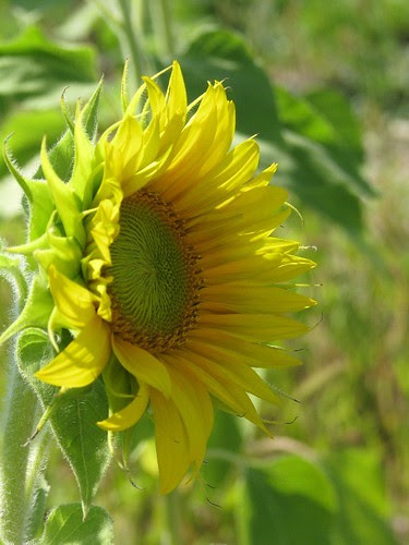 Sunflower by makingamark2