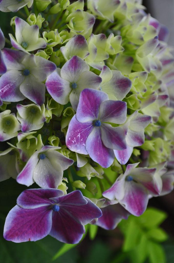 Hydrangea macrophylla (Angel Series)