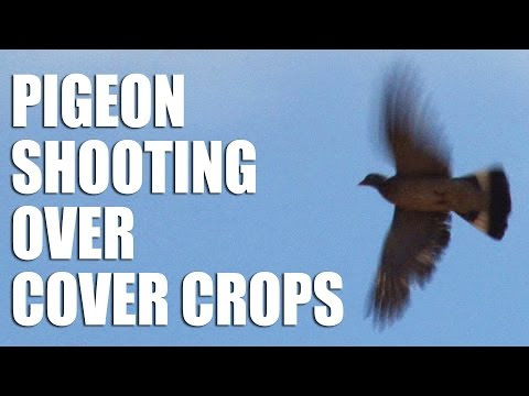 Andy Crow Pigeon Shooting Hunting over Cover Crops Video