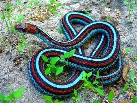 neon blue garter snake wild populations