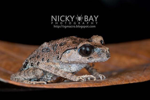 Black-eyed Litter Frog (Leptobrachium nigrops) - DSC_1479