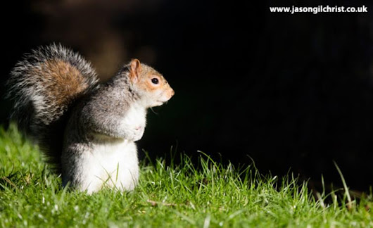 In defence of the grey squirrel, Britain's most unpopular invader