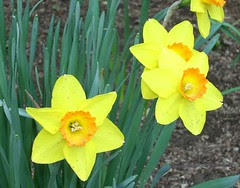 Daffodil 18