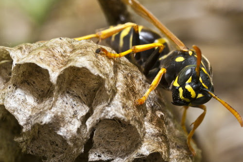 How to Get Rid of Wasps and Hornets in Summer