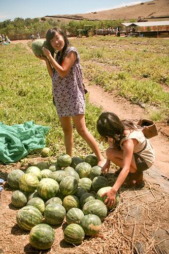 Pick yer own watermelon!