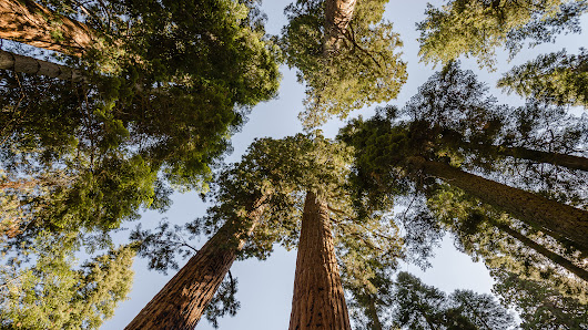 In the Sierras, New Approaches to Protecting Forests Under Stress