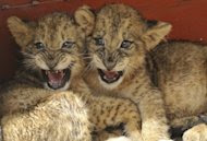 These two-month-old lion cubs, in quarantine at the Kenya Wildlife Service, were rescued after wildlife rangers were forced to shoot dead the cubs' mother after it was spotted in Nairobi's Karen suburb and it charged before it could be darted. (AFP Photo/Simon Maina)