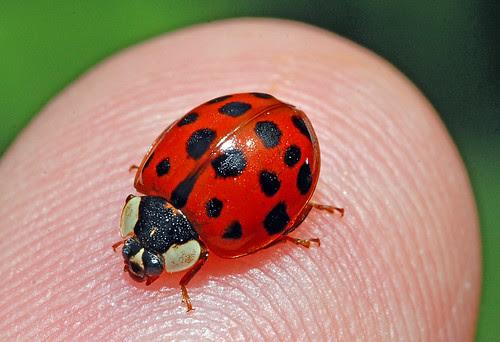 Marienkäfer ladybug 080606 027