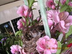 bulbul chicks5 (18May)