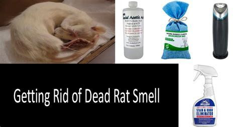? How to Get Rid of Dead Rat Smell Effectively