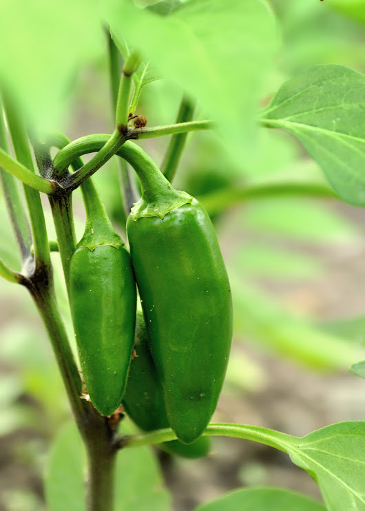 30 Second Guide to Growing Peppers | Hillsborough Homesteading