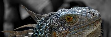 http://wallpaperscraft.com/image/lizard_macro_reptile_iguana_31716_1920x1080.jpg Reptile