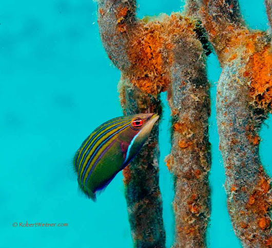 5-Line Wrasse on a Mooring Chain - Snorkel Bob's
