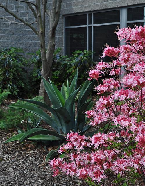 Rhododendron canescens 'Varnadoes Phlox Pink' (2)