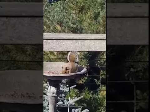 Drunk squirrel ate too many fermented berries. Funny Video!