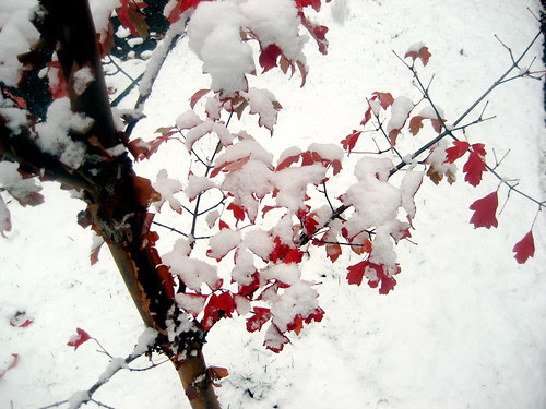 paperbark in the snow