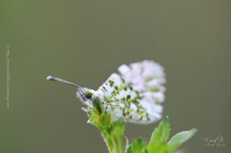 Anthocharis cardamines ♂