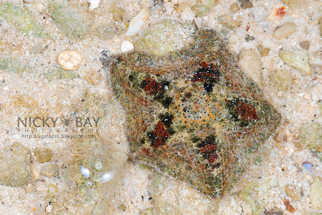 Cryptic Sea Star (Cryptasterina sp.) - DSC_6623