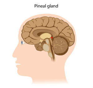 brain-image-pineal-gland