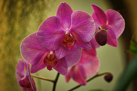 Pink Orchids by Stuart Litoff