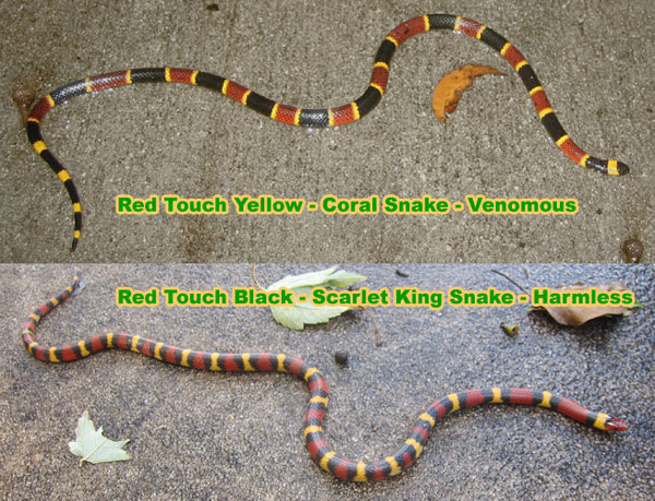 Rhyme For Coral Snakes Colors To Tell If A Snake Is Poisonous Red
